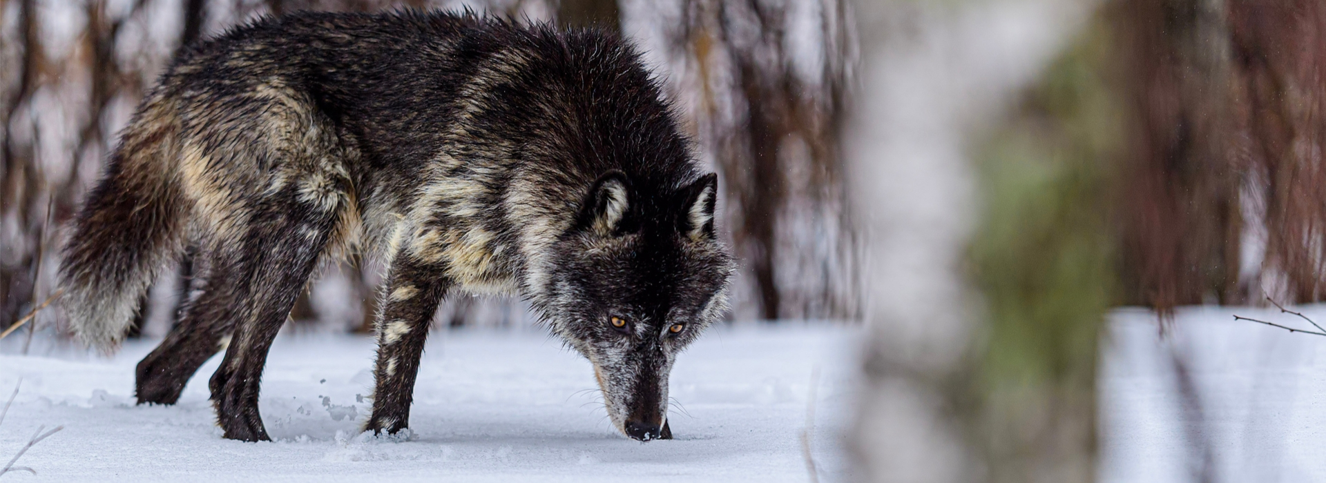 Trophy Wolf & Coyote Hunting in Alberta