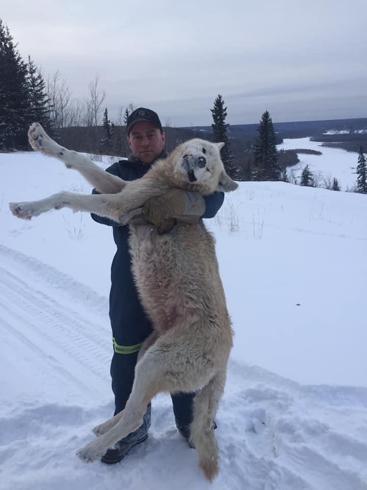 Canadian Wolf & Coyote Hunting Expeditions